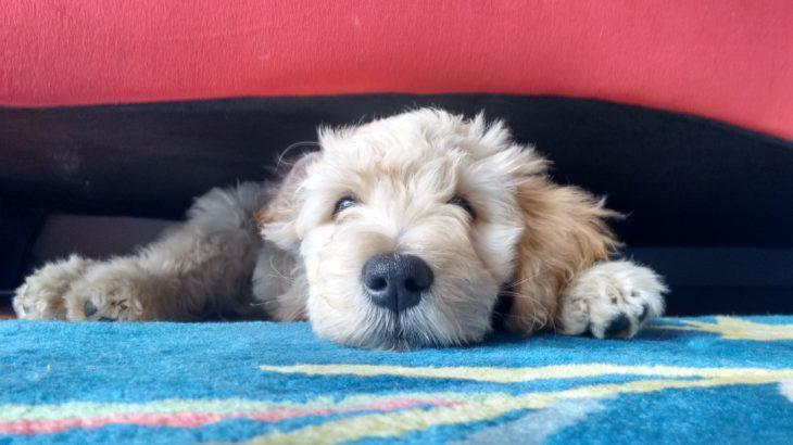 Rol van hond in coaching – wel of niet van meerwaarde?
