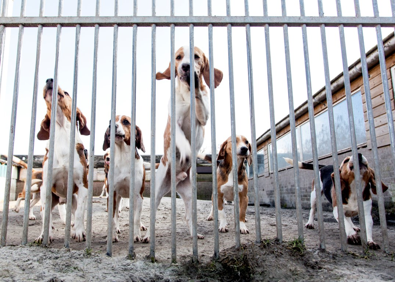 Laboratoriumhonden krijgen een tweede kans door Stichting hulp en herplaatsing huisdieren