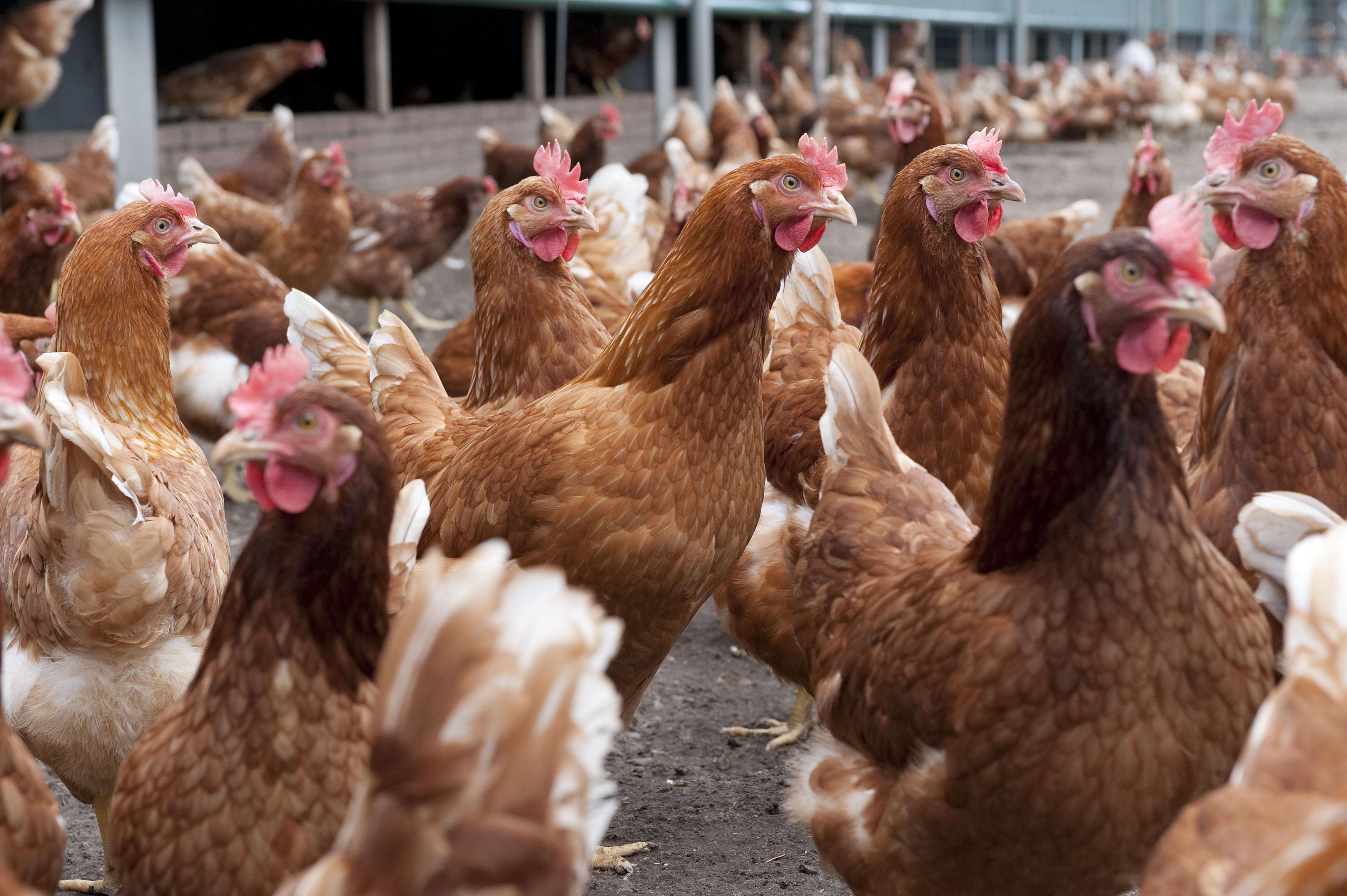 Waarschuwing om besmette eieren niet te eten; check hier de codes