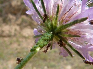 Mieren met bladluis