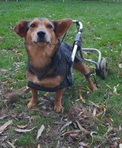 Hond rolstoel