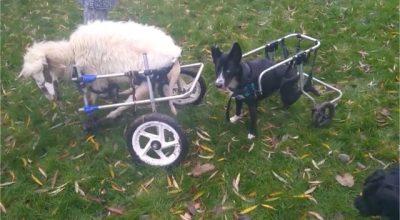 Yiannoula in rolstoel