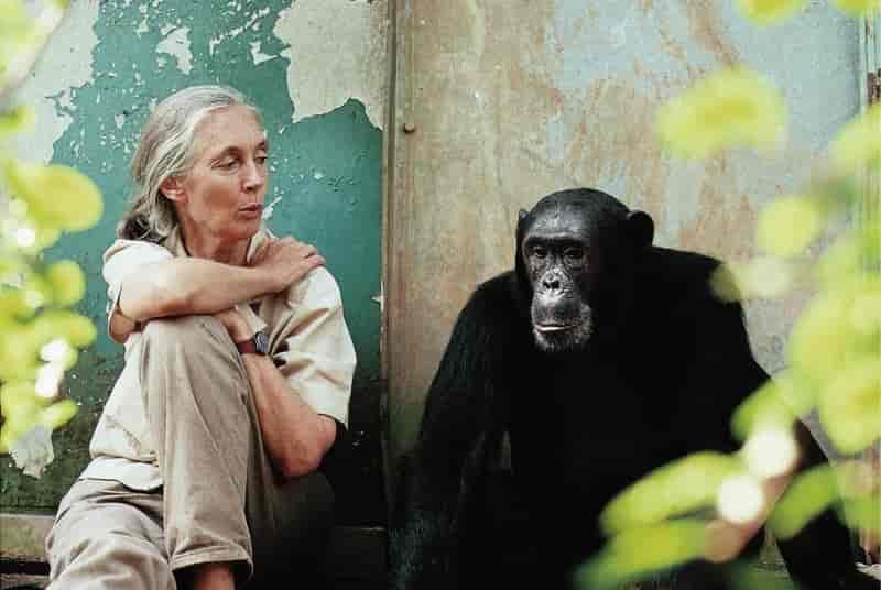 Levenslange missie van Jane Goodall nog altijd actueel